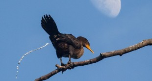 11 dau hieu nhan biet benh qua phan chim 310x165 - 11 dấu hiệu nhận biết bệnh qua phân chim