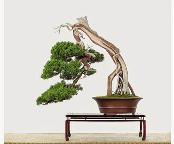 4 dang cay co ban trong nghe thuat cay canh 1 - 4 dáng cây cơ bản trong nghệ thuật cây cảnh