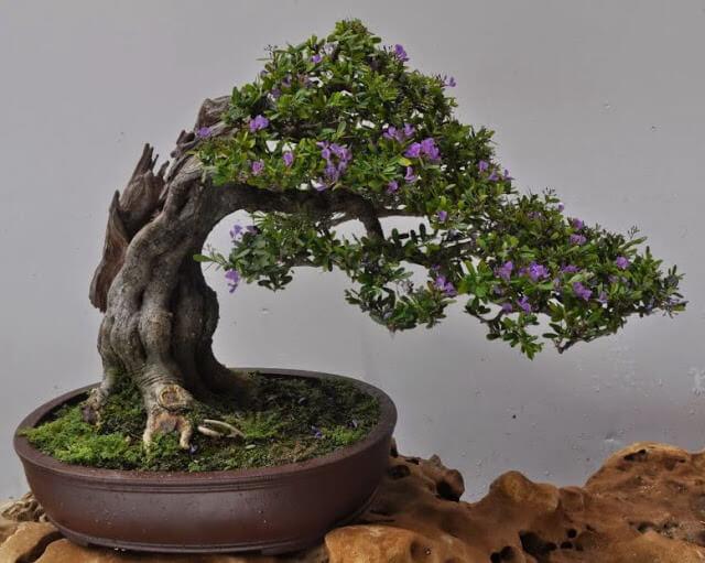 4 dang cay co ban trong nghe thuat cay canh 5 - 4 dáng cây cơ bản trong nghệ thuật cây cảnh