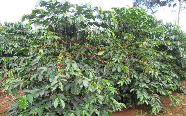 bon phan cham soc cay ca phe sau thoi ki kho han 1 - Bón phân chăm sóc cây cà phê sau thời kì khô hạn