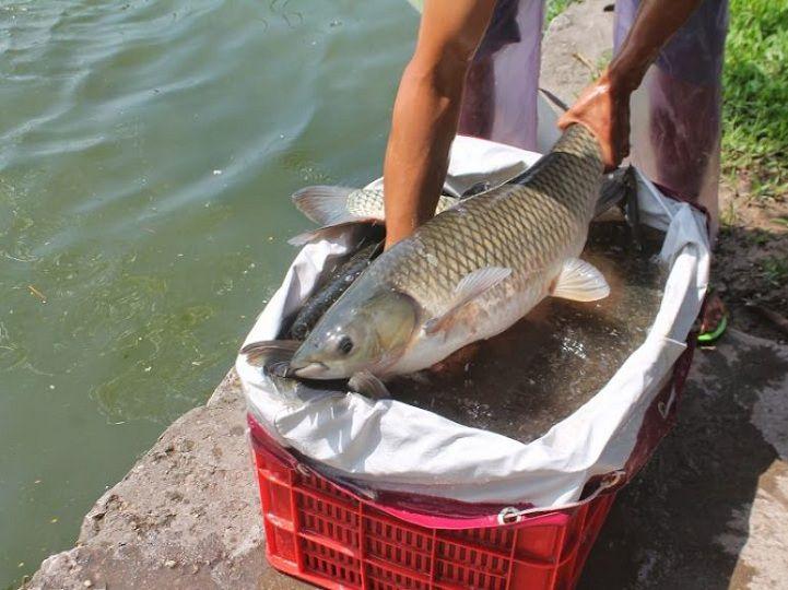 Cá trắm cỏ ăn gì? Thức ăn cho cá trắm cỏ. Cách trồng cỏ nuôi cá trắm cỏ