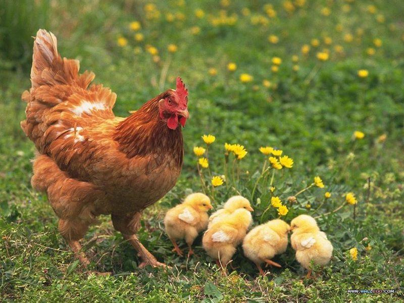 Cách ấp trứng gà thủ công (ấp tự nhiên). Cách làm cho gà mái ấp trứng