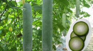 cach cham soc cay bi dao quanh nam 300x165 - Cách chăm sóc cây bí đao quanh năm