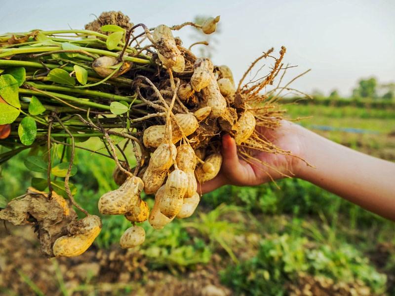 cach cham soc cay dau phong dung cach cho nang suat cao 1 - Cách chăm sóc cây đậu phộng đúng cách cho năng suất cao