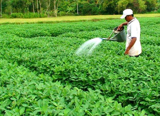 cách chăm sóc cây đậu phộng