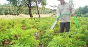 cách chăm sóc cây đinh lăng