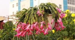 cach cham soc cay hoa lan cang cua dep 310x165 - Cách chăm sóc cây hoa lan càng cua đẹp