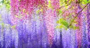 cach cham soc cay hoa tu dang don gian 310x165 - Cách chăm sóc cây Hoa tử đằng đơn giản