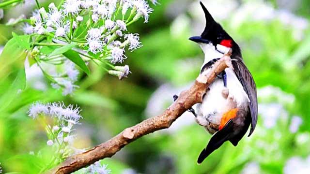 cach cham soc chim chao mao cang lua – hot hay – dang dep 1 - Cách chăm sóc chim chào mào căng lửa – hót hay – dáng đẹp