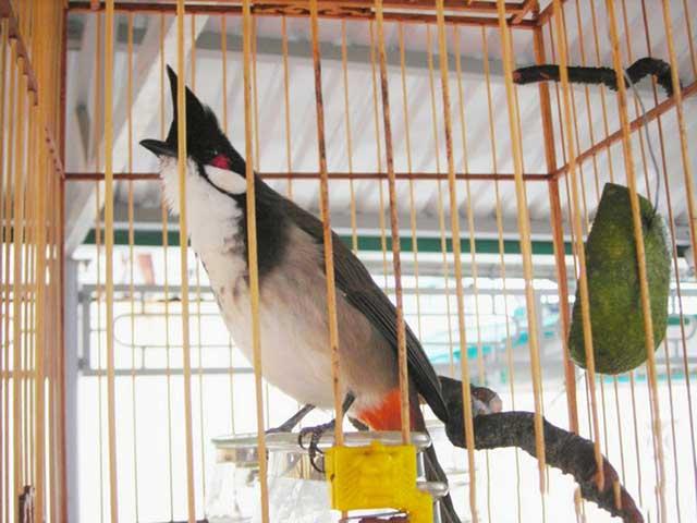 cach cham soc chim chao mao cang lua – hot hay – dang dep 3 - Cách chăm sóc chim chào mào căng lửa – hót hay – dáng đẹp