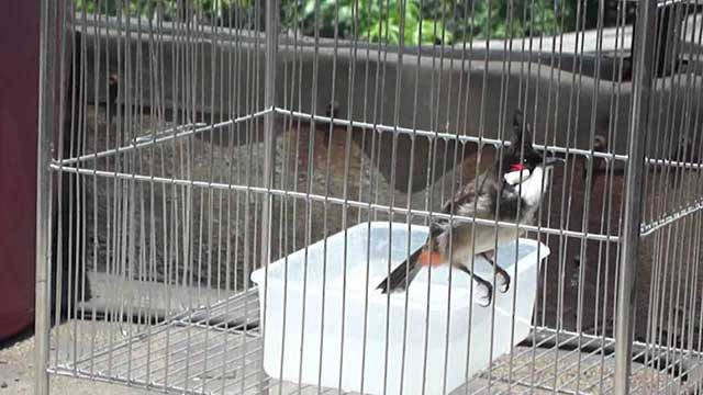 cach cham soc chim chao mao cang lua – hot hay – dang dep 5 - Cách chăm sóc chim chào mào căng lửa – hót hay – dáng đẹp