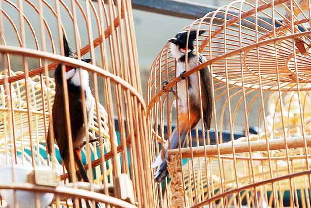 cach cham soc chim chao mao cang lua – hot hay – dang dep 8 - Cách chăm sóc chim chào mào căng lửa – hót hay – dáng đẹp