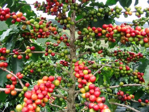 cach cham soc cho cay ca phe trong mua mua - Cách chăm sóc cho cây cà phê trong mùa mưa