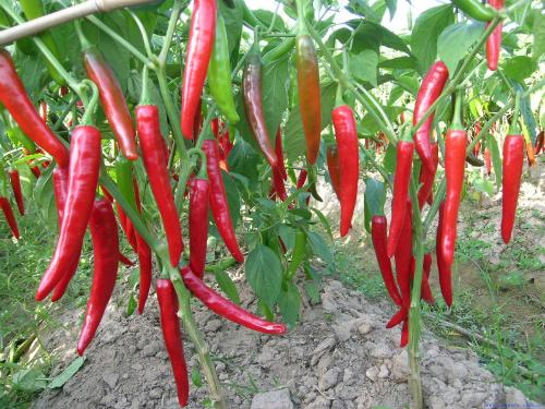 cach cham soc cho ot chin deu tien cho viec thu hoach 1 - Cách chăm sóc cho ớt chín đều tiện cho việc thu hoạch