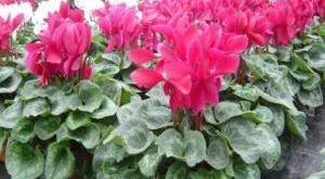 cach cham soc hoa anh thao trong chau 300x165 - Cách chăm sóc hoa anh thảo trong chậu