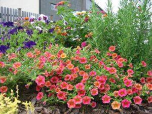 cach cham soc hoa trieu chuong tren ban cong 1 - Cách chăm sóc hoa triệu chuông trên ban công