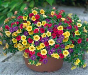 cach cham soc hoa trieu chuong tren ban cong 2 - Cách chăm sóc hoa triệu chuông trên ban công