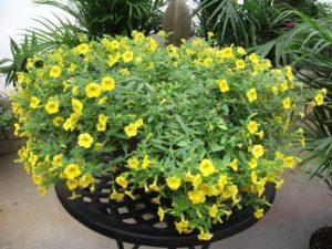 cach cham soc hoa trieu chuong tren ban cong 3 - Cách chăm sóc hoa triệu chuông trên ban công