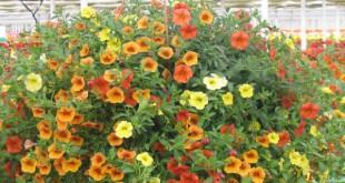 cach cham soc hoa trieu chuong tren ban cong 310x165 - Cách chăm sóc hoa triệu chuông trên ban công