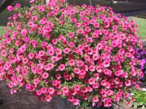 cach cham soc hoa trieu chuong tren ban cong 4 - Cách chăm sóc hoa triệu chuông trên ban công