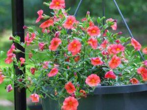 cach cham soc hoa trieu chuong tren ban cong 5 - Cách chăm sóc hoa triệu chuông trên ban công