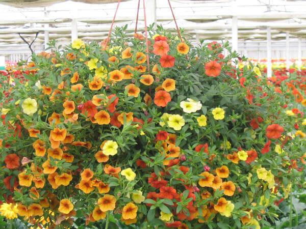 cach cham soc hoa trieu chuong tren ban cong - Cách chăm sóc hoa triệu chuông trên ban công