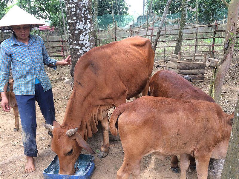 cach chon bo giong sinh san tot ky thuat chan nuoi bo sinh san 1 - Cách chọn bò giống sinh sản tốt. Kỹ thuật chăn nuôi bò sinh sản