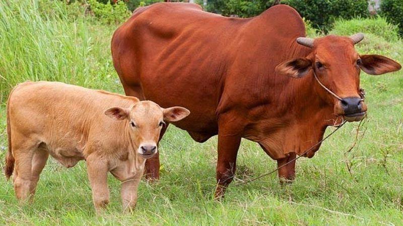 Cách chọn bò giống sinh sản tốt. Kỹ thuật chăn nuôi bò sinh sản