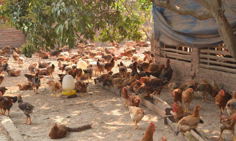 cach lam chuong nuoi ga tha vuon chi phi xay chuong cho ga tha vuon 1 - Cách làm chuồng nuôi gà thả vườn. Chi phí xây chuồng cho gà thả vườn