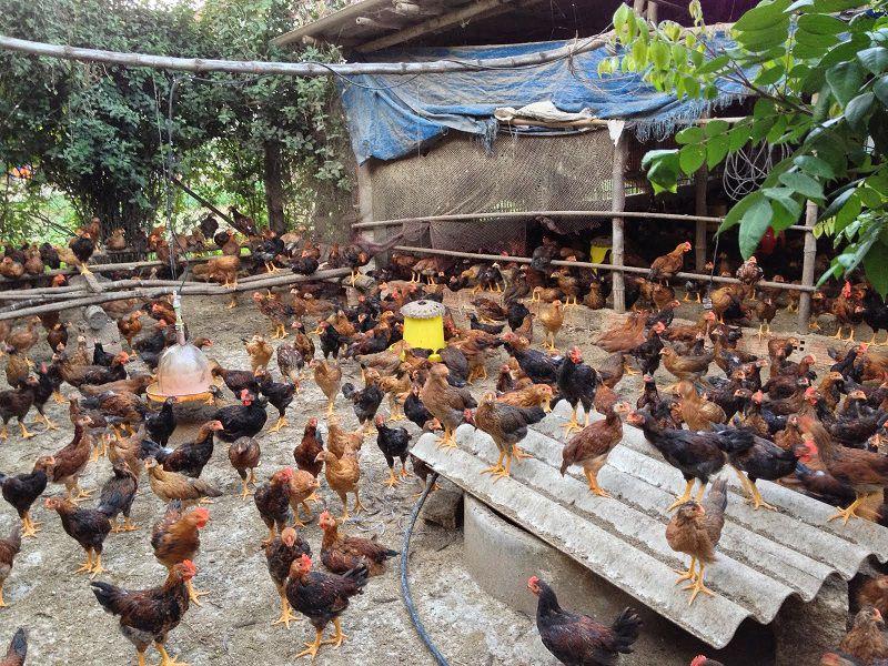 Cách làm chuồng nuôi gà thả vườn. Chi phí xây chuồng cho gà thả vườn