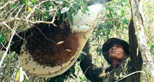 Cách lấy mật ong. Thời gian lấy mật. Quy trình lấy và bảo quản mật ong