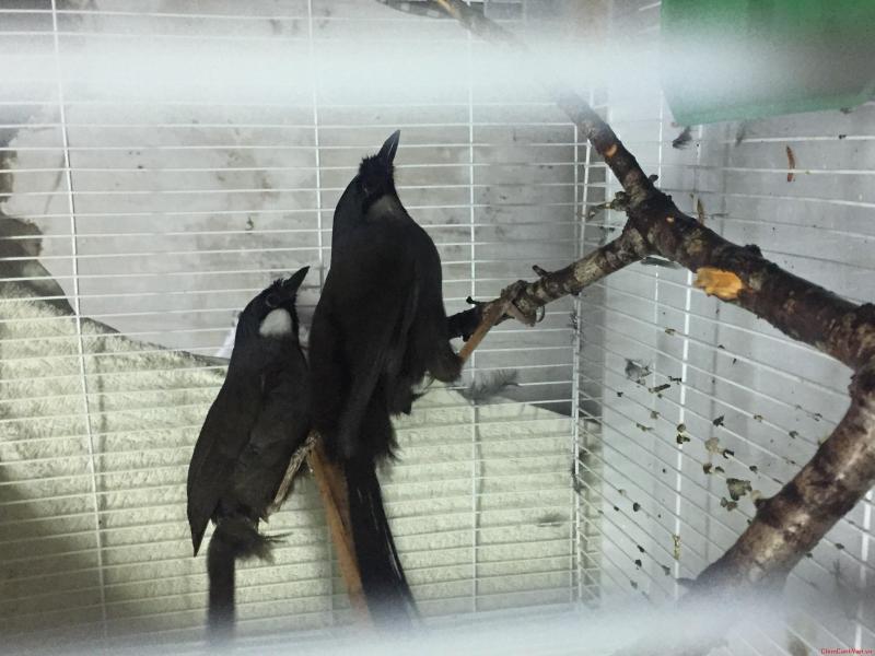 cach nhan biet chim khuou trong mai theo ngoai hinh va giong hot 1 - Cách nhận biết chim khướu trống mái theo ngoại hình và giọng hót