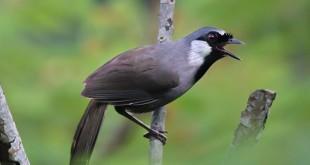 Cách nhận biết chim khướu trống mái. Nhận biết chim khướu đực - cái