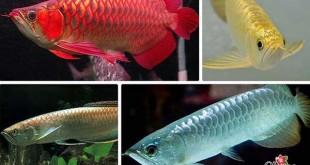 Cá Rồng đa dạng về màu sắc và mẫu mã