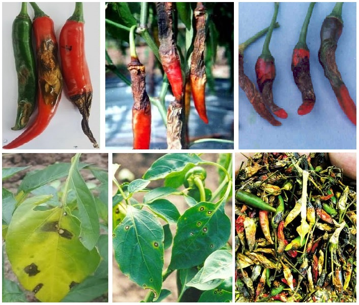 bệnh thán thư trên cây ớt