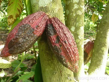 cach phong tru benh hai cay ca cao - Cách phòng trừ bệnh hại cây ca cao