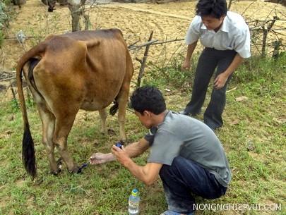 cach tri benh ha mong o trau bo - Cách trị bệnh hà móng ở trâu bò