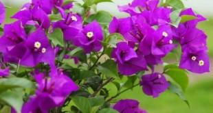cach trong cay hoa giay trong vuon nha 310x165 - Cách trồng cây hoa giấy trong vườn nhà