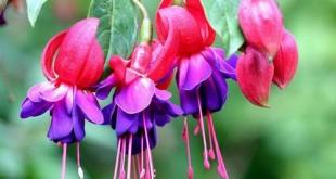 cach trong cay hoa long den dep tuyet voi 310x165 - Cách trồng cây Hoa lồng đèn đẹp tuyệt vời