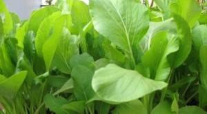 cach trong cay rau cai ngot quanh nam 300x165 - Cách trồng cây rau cải ngọt quanh năm