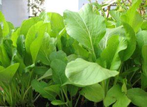 cach trong cay rau cai ngot quanh nam - Cách trồng cây rau cải ngọt quanh năm