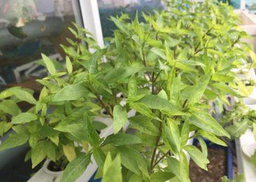 cach trong cay rau hung trong thung xop - Cách trồng cây rau húng trong thùng xốp