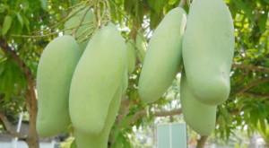 cach trong cay xoai dai loan nhieu qua 300x165 - Cách trồng cây xoài Đài loan nhiều quả