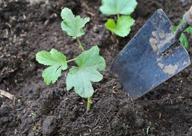 cach trong dau bap tai nha – qua sai triu trit – an quanh nam 3 - Cách trồng đậu bắp tại nhà – quả sai trĩu trịt – ăn quanh năm