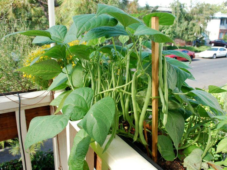 cách trồng đậu cove