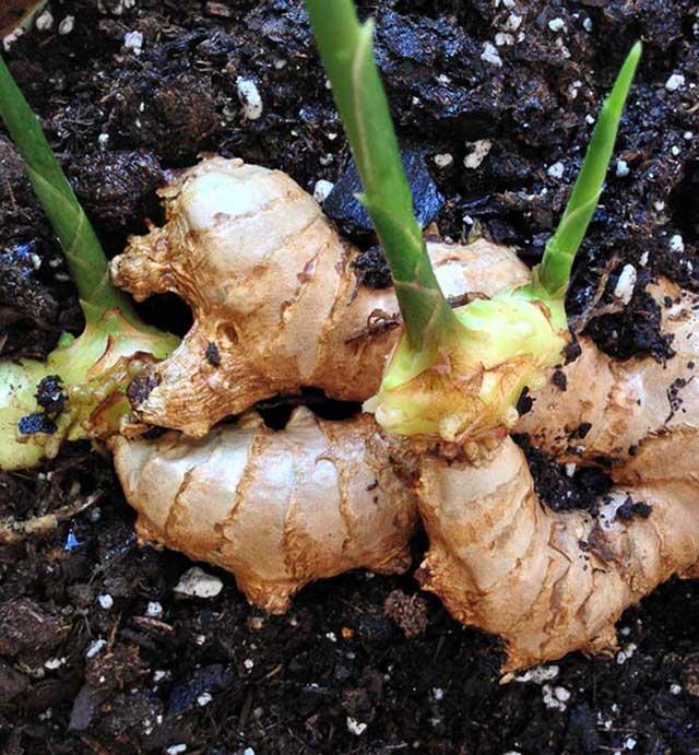 cach trong gung tai nha – cho cu to – giup chua benh cho ca nha 4 - Cách trồng gừng tại nhà – cho củ to – giúp chữa bệnh cho cả nhà