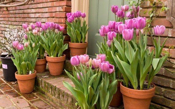 cach trong hoa tulip don gian tai nha 1 - Cách trồng hoa tulip đơn giản tại nhà