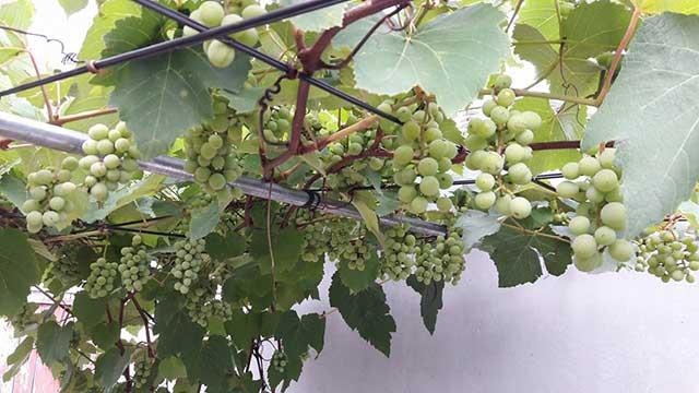 cach trong nho dat hieu qua cao ngay tai nha – thu hoach quanh nam 4 - Cách trồng nho đạt hiệu quả cao ngay tại nhà – thu hoạch quanh năm