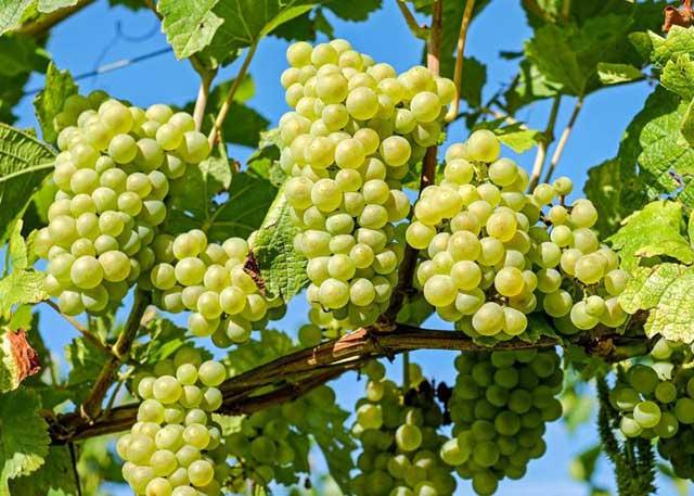 cach trong nho dat hieu qua cao ngay tai nha – thu hoach quanh nam 6 - Cách trồng nho đạt hiệu quả cao ngay tại nhà – thu hoạch quanh năm