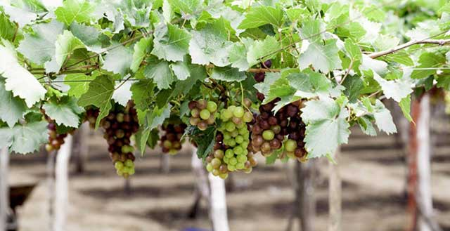cach trong nho dat hieu qua cao ngay tai nha – thu hoach quanh nam - Cách trồng nho đạt hiệu quả cao ngay tại nhà – thu hoạch quanh năm